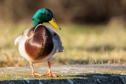 Mallard (Anas platyrhynchos) standing on the shore, male wild duck outside the water