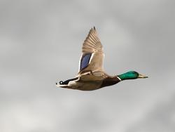 Mallard - Anas Platyrhynchos - Wilde eend
