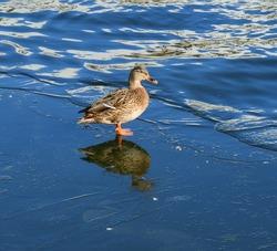 Mallard, dabbling duck, belongs to subfamily Anatinae of waterfowl family Anatidae