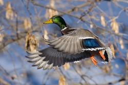 Mallard Drake in Flight in Trees