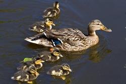 mallard duck and baby ducklings