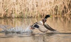 Mallard, Duck, Birds