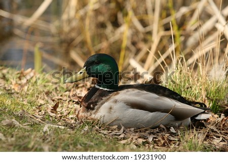 Mallard Duck By Pond