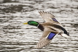 mallard duck flying over lake