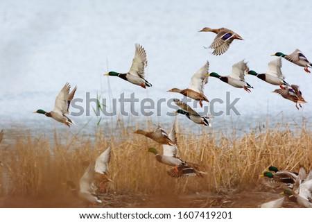 Mallard duck flying over the lake Сток-фото ©