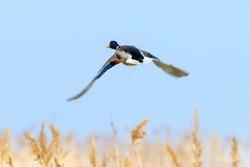 Mallard duck in flight, duck hunting season