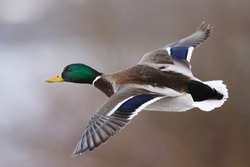 Mallard Duck in flight over the natural background