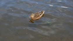 Mallard duck is swimming in the pond. The duck is floating in the river and look for food. Migration of migratory birds. Animal behavior in the wild. Observation of animals. Swimming duck image.