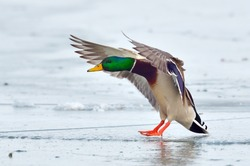 mallard duck landing on icy lake