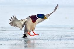 mallard duck landing on icy lake