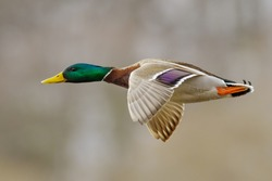 Mallard duck male in active flight.
