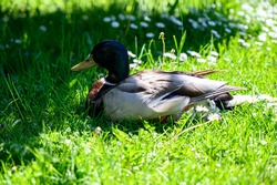 Mallard duck on a grass. Female wild duck resting on a grass near the water.