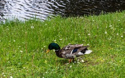 Mallard duck on a grass. Wild duck resting on a grass near the water.