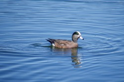 Mallard duck swimming in lake with concentric ripples