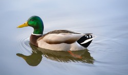 Mallard duck swimming on a pond picture with reflection in water