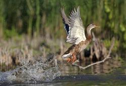 Mallard duck take off from water