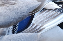 MALLARD DUCK WHITE GRAY WHITE FEATHER TEXTURE MACRO CLOSE UP