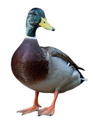 Mallard Duck with clipping path.