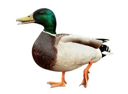 Mallard Duck with clipping path. Colourful mallard duck isolated on white background . duck smiles