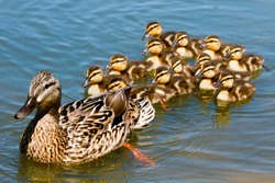 Mallard Duck with her Ducklings