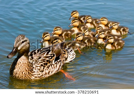 Find free baby duck images, stock photos and illustration collections