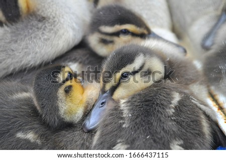 Mallard ducklings huddled together at Le Nichoir in Hudson, Quebec Photo stock ©