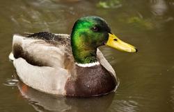 Mallard Ducks (Anas platyrhynchos) relaxing in pond