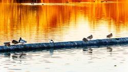 Mallard Ducks at Sunset on a log in a lagoon in the Reifel Bird Sanctuary of the Alaksen National Wildlife Area on Westham Island near Ladner, British Columbia, Canada