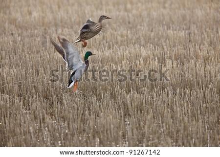 Mallard Ducks in Flight Canada