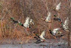 Mallard ducks in flight mallards taking off flying, Oregon, Merrill, Lower Klamath National Wildlife Refuge, Winter