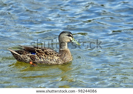 Mallard ducks on a lake. - stock photo