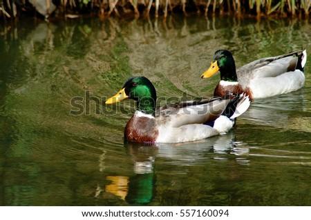 Mallard Ducks Swimming