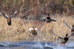 Mallard ducks taking off from the water
