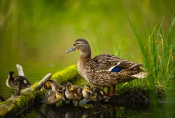 Mallard female with little ducklings in a living nature on the river on a sunny day. Breeding season in wild ducks. Mallard duck with a brood in a colorful spring place. Little ducklings with mom duck
