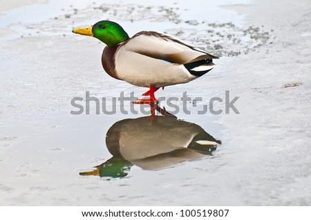 Mallard walking in shallow frozen pond