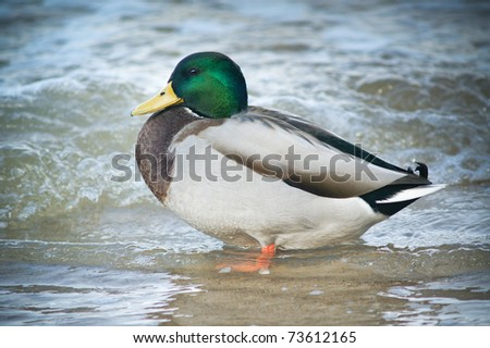 Mallared Duck in the water.