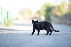 Mallorca 2019: side view of a black stray cat with ear notch walking crossing the street looking at camera on majorca