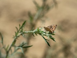 Mallow skipper (carcharodus alceae) butterfly of family Hesperiidae sitting on green plant on hot summer day