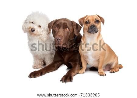 maltese, chocolate labrador and a mixed breed