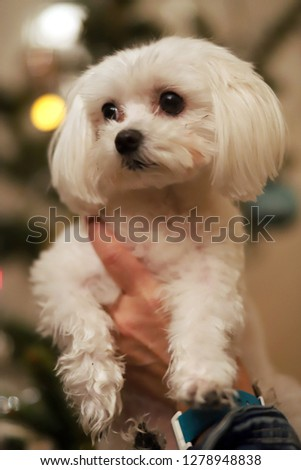 Maltese dog christmas portrait.  Beautiful female maltese dog puppy portrait against christmas lights in front of a christmas tree. Unknown lady hold a maltese puppy against christmas tree