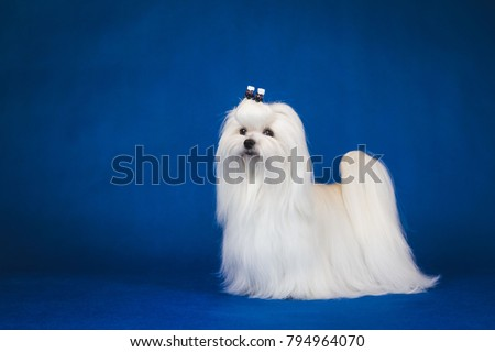 Maltese dog posing in the blue studio background. Amazing maltese show dog.