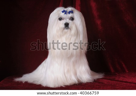 Mod The Sims - Maltese with long hairstyle x 2.