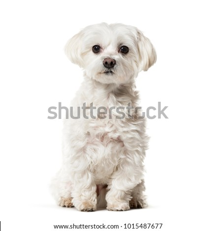 Maltese dog sitting against white background
