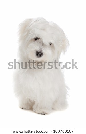 Maltese dog sitting in front of a white background