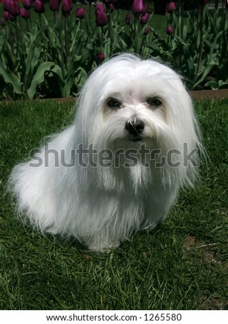 maltese dog sitting on grass with purple tulips in background vertical