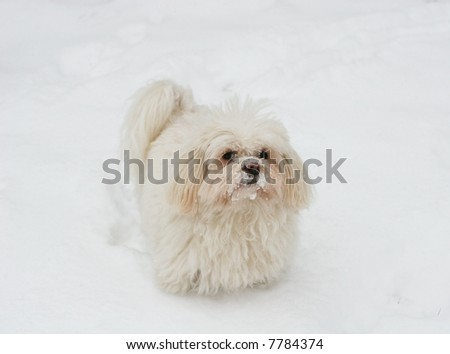 maltese dog standing in snow