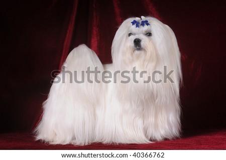 Maltese dog stands on red velvet background