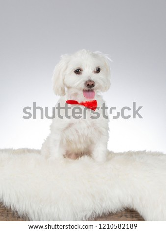Maltese dog wearing a red bow. Funny dog picture taken in a studio with white background.