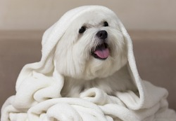 Maltese dog wrapped on a white blanket