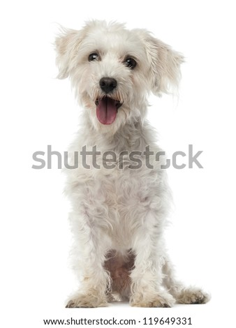 Maltese dog, 3 years old, sitting and looking at camera against white background